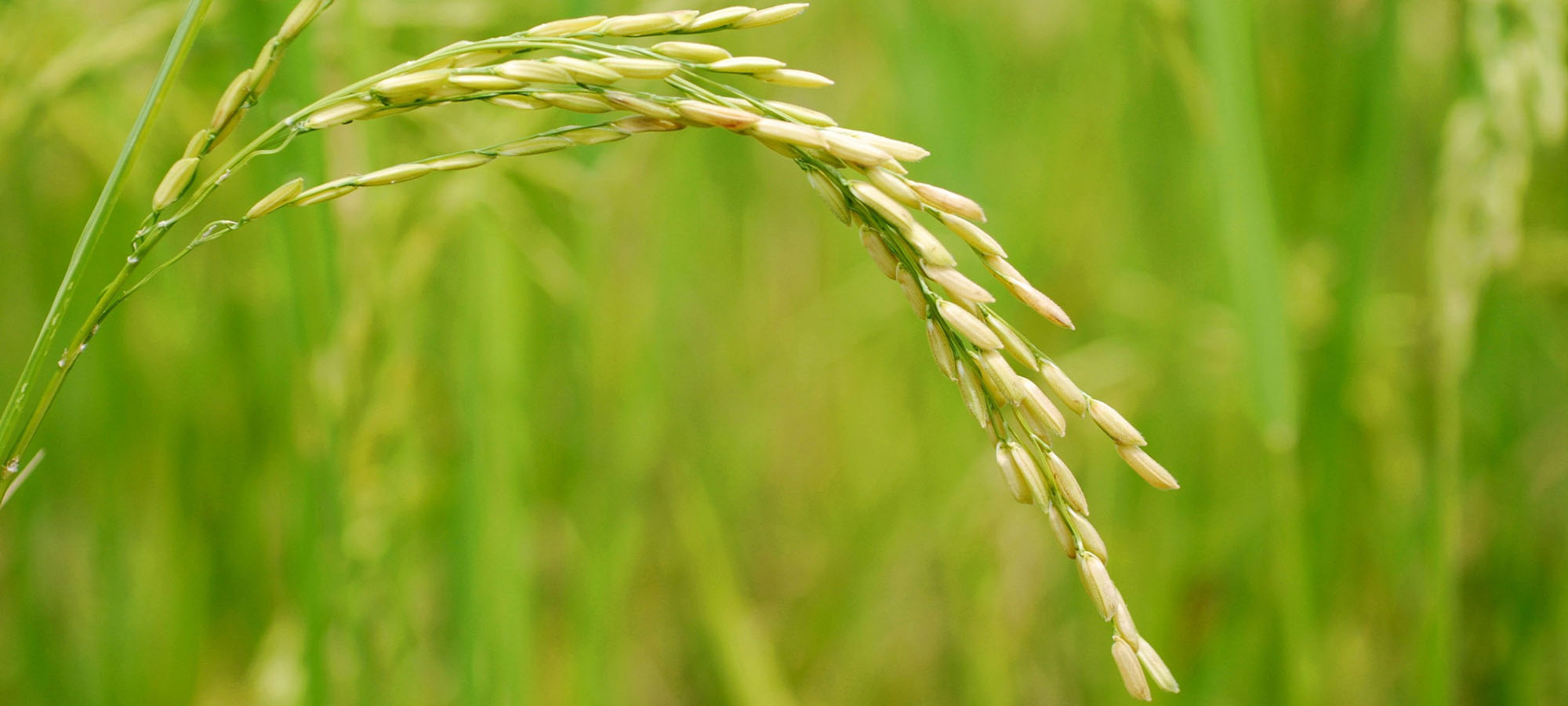 close up of one ear of a small grain crop