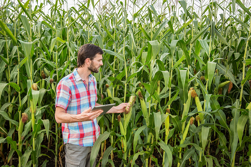 Scientist with tablet in a corn field